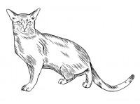 Рисунок абиссинской кошки